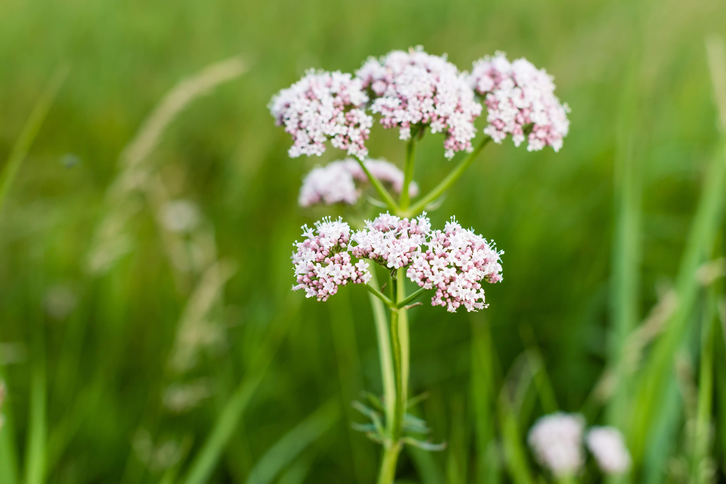 If You're One To Struggle To Fall Asleep At Night Because You're Monkey  Brain Is On Full Force, This Ones For You! Valerian Root Is Most Widely  Known As A